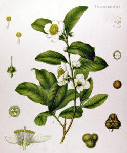 Camellia_sinensis_450
